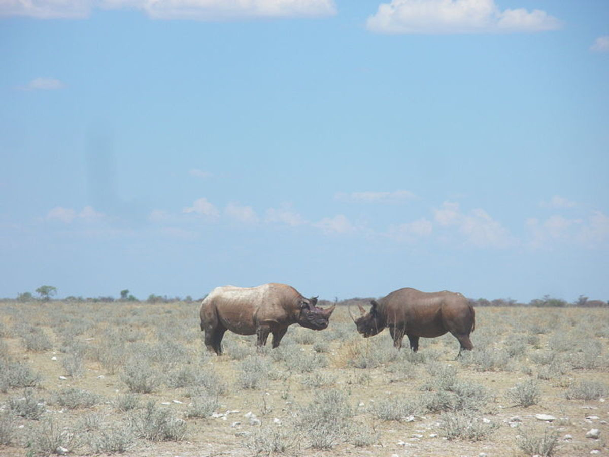 Black rhinos at Etosha National Park