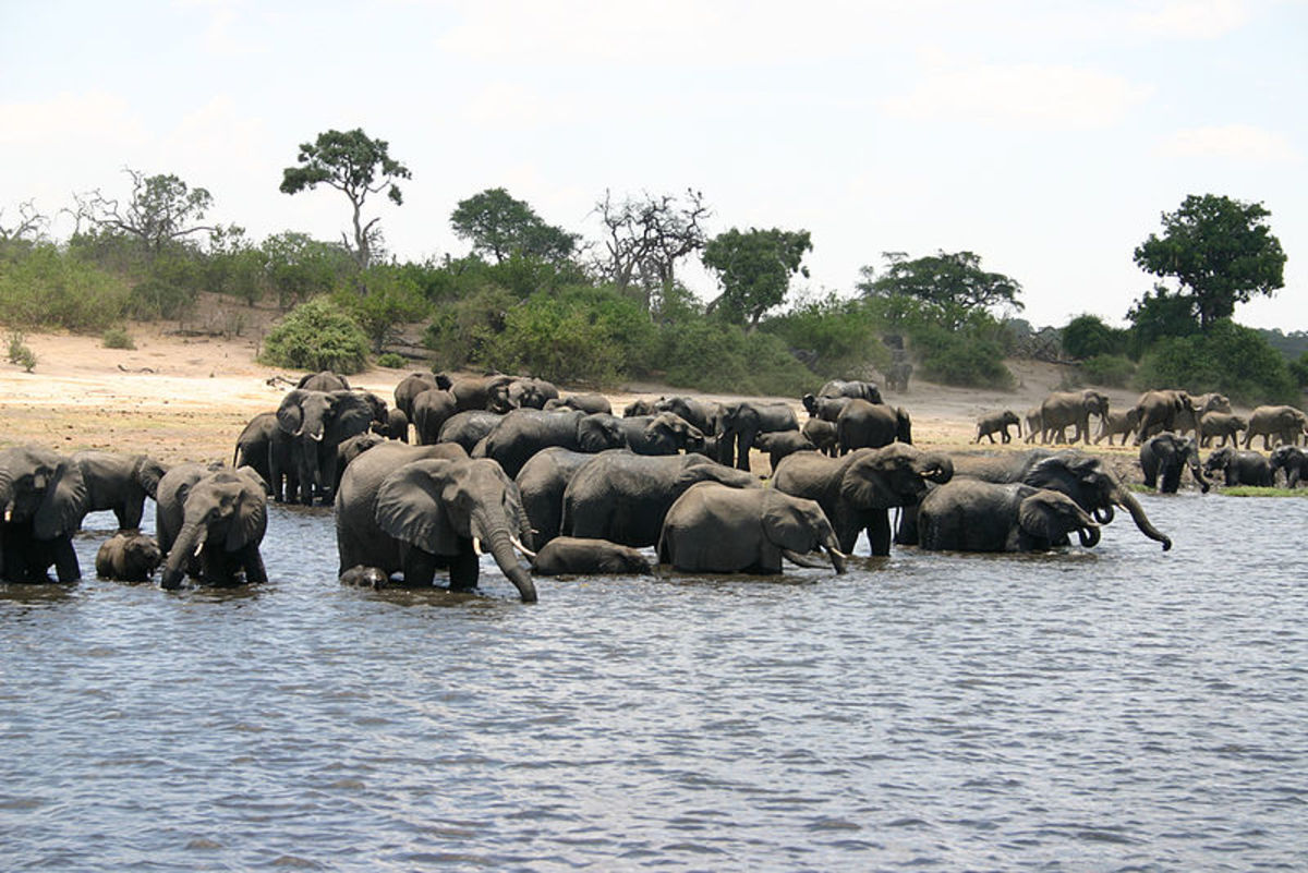 A herd of elephants at the Chobe River