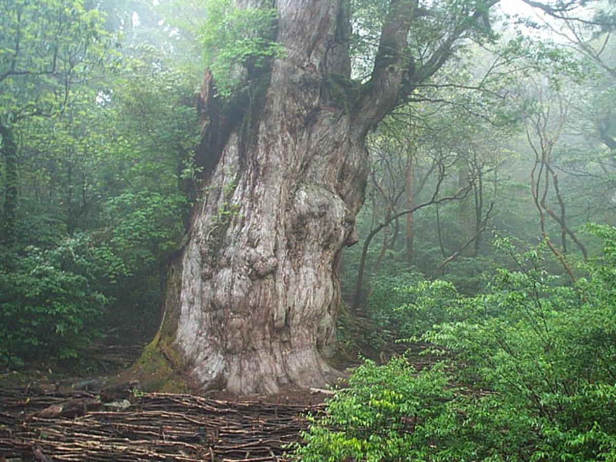 Sugi tree, Yakushima.