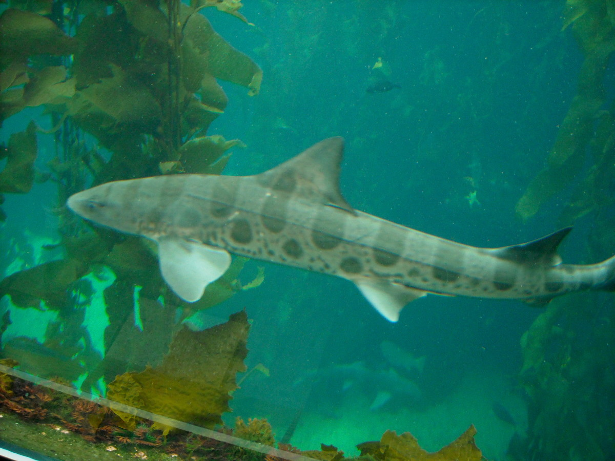 A leopard shark in the kelp forest.