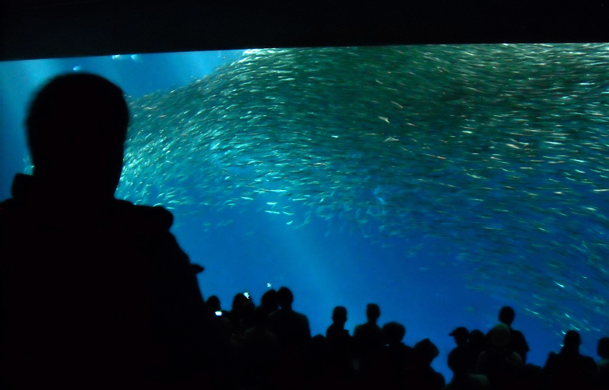 "Thousands of sardines swarm past viewers in ""The Open Sea""."