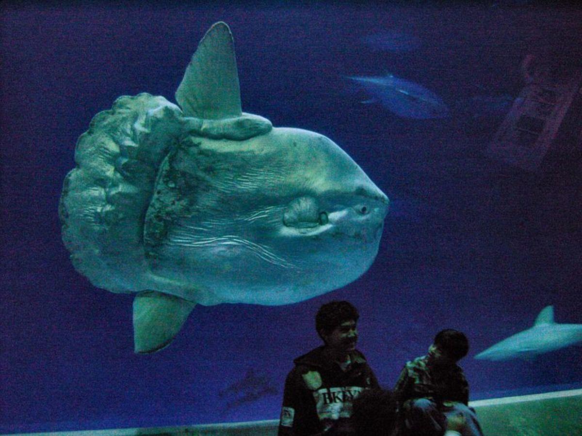Huge ocean sunfish (Mola mola)