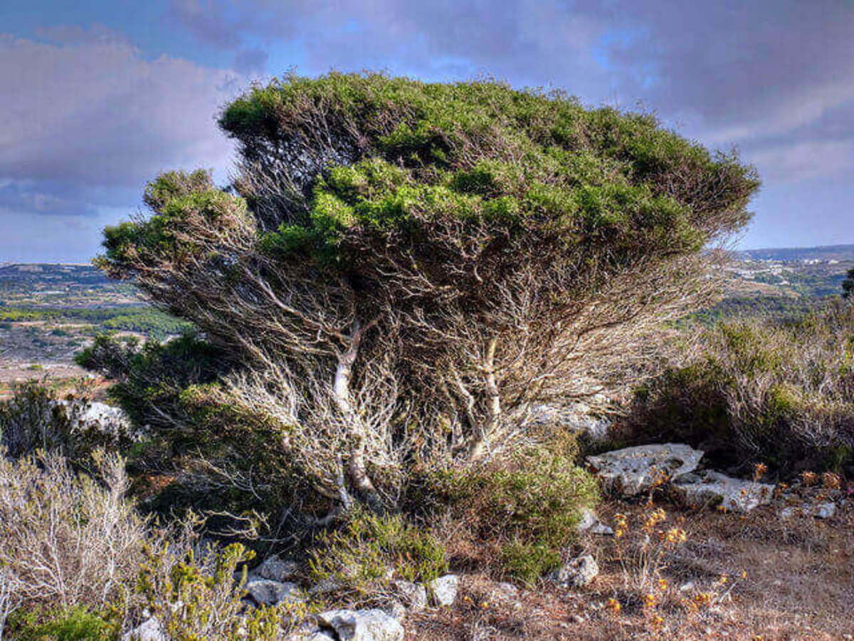 A typical Araar Tree