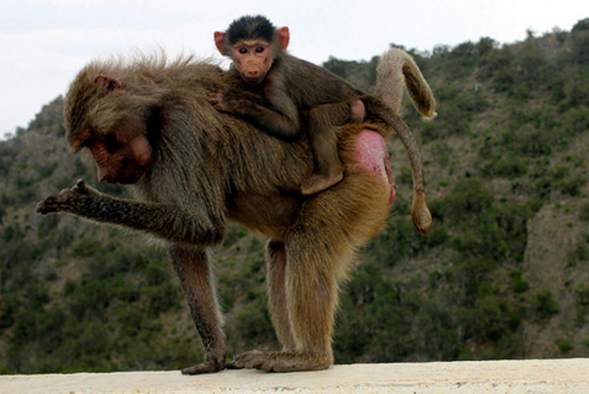 Baboons near Abha