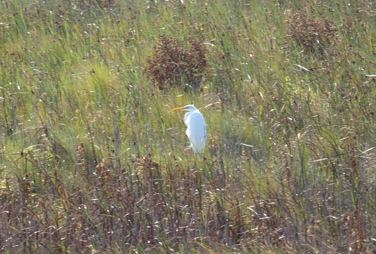 Snowy Egret at Pea Island National Wildlife Refuge