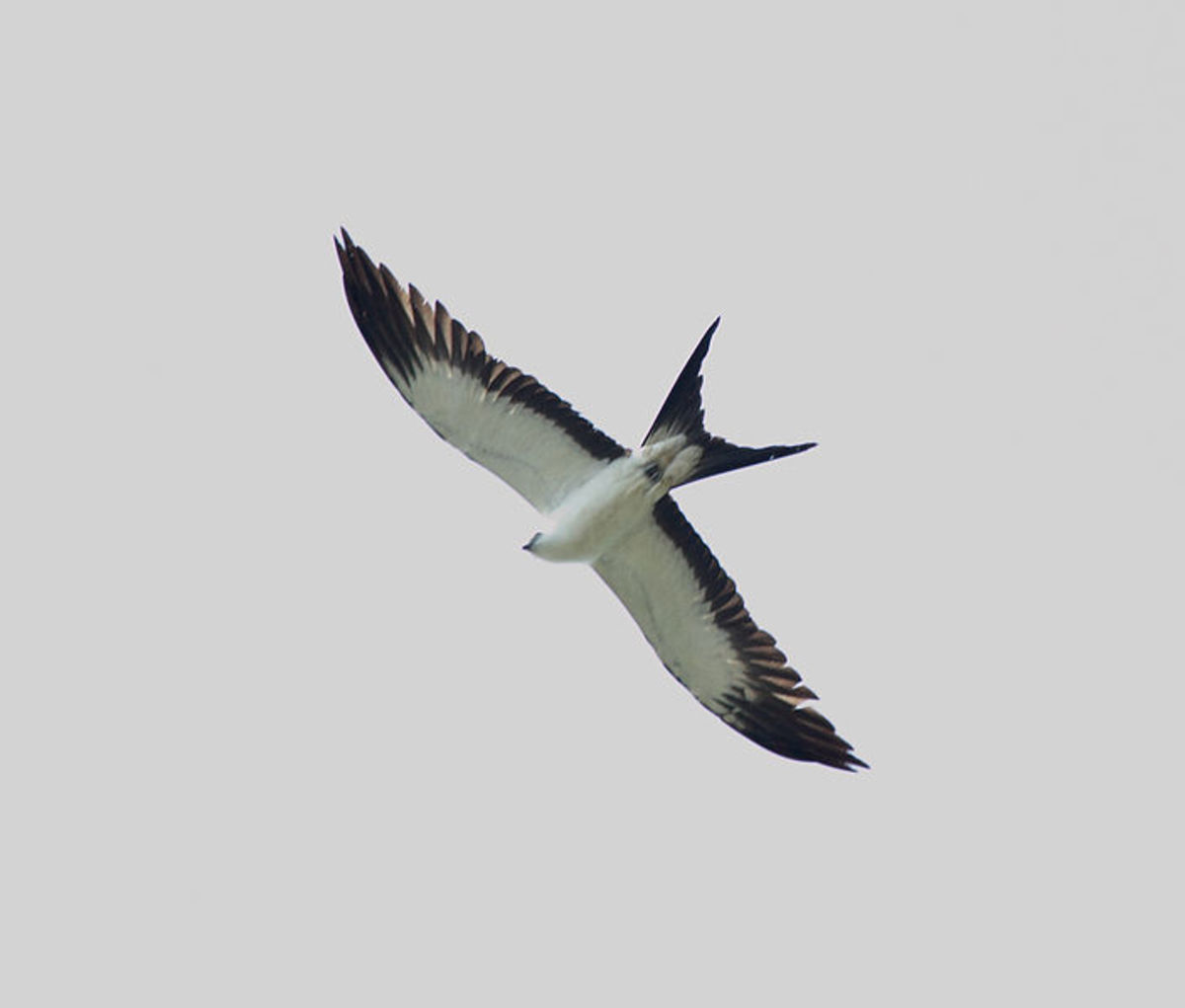 "Swallow Tail Kites have a distinctive white underside with black fringes and a deeply forked ""swallow"" tail."