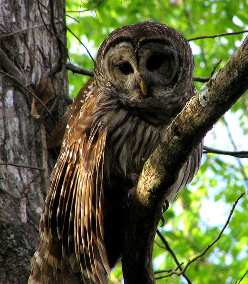 "Remember the call of the Barred Owl with this phrase ""who calls for you, who calls for you all?"""