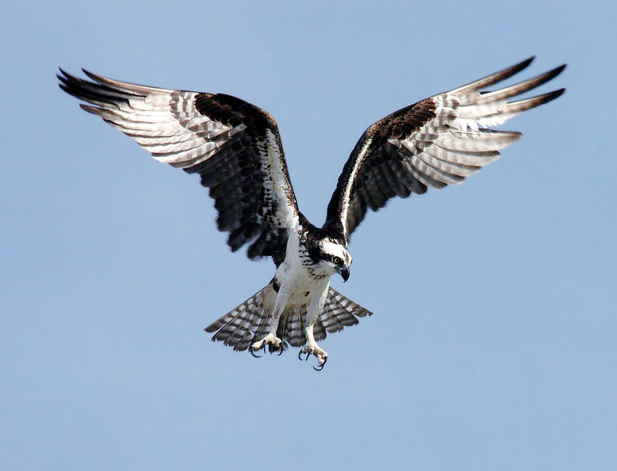 Do you know the difference between a Fish Eagle and an Osprey?