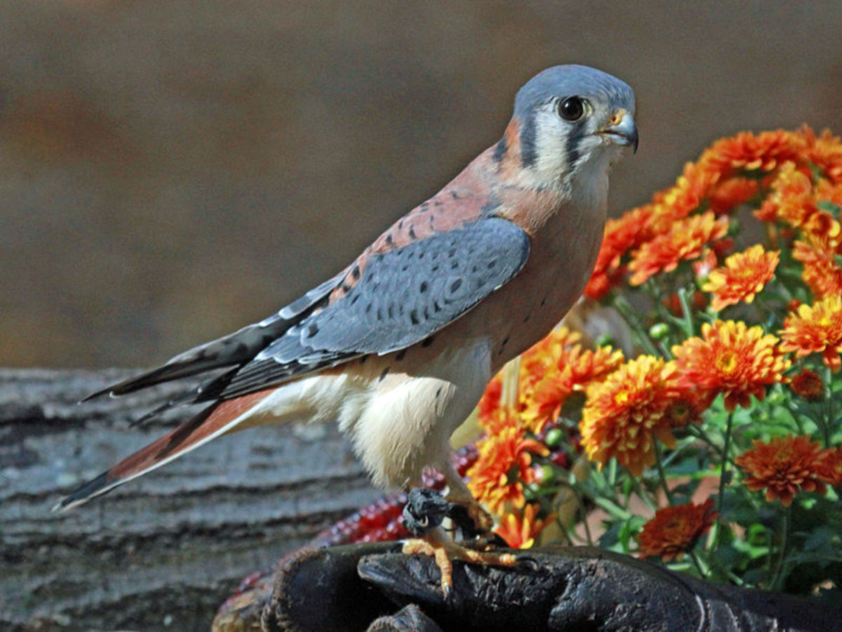 This kestrel is a resident of the Carolina Raptor Center in Huntersville, NC.