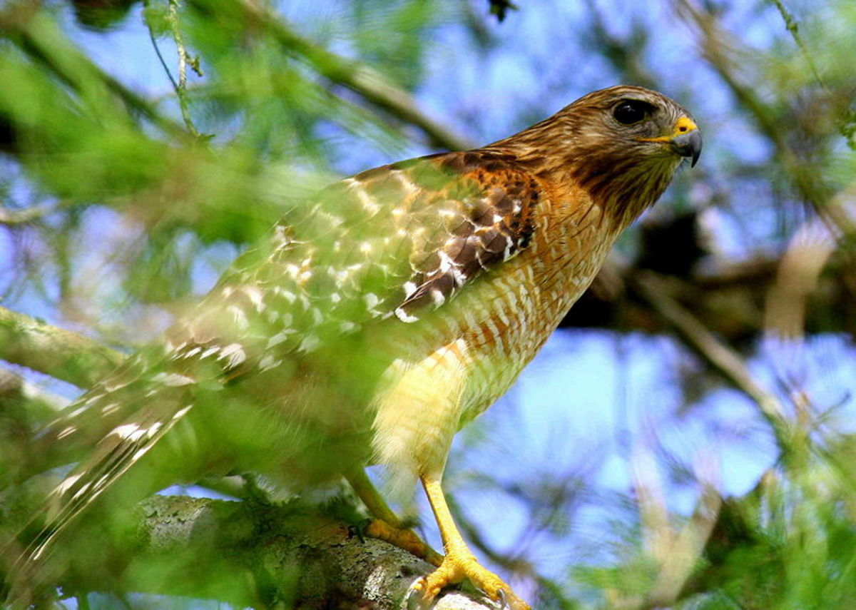 Hawks are very common in the Everglades.  There are least six species regularly found within its borders. The Red Shouldered Hawk seen here is the most common hawk found in the Everglades