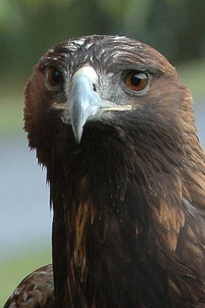 Golden Eagles are one of the largest birds on the planet, they love to eat fish and scoop them out of the water in flight.