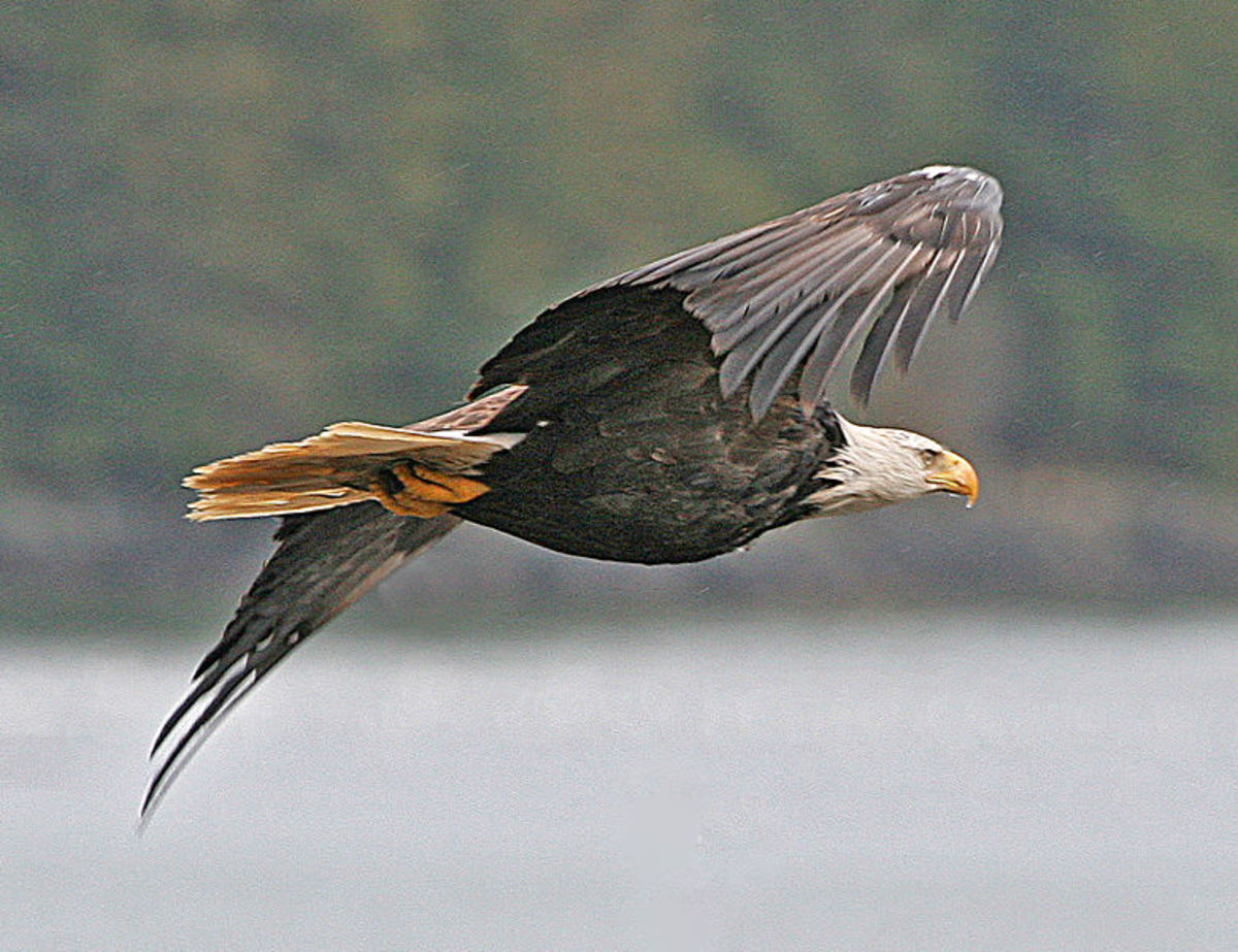 Bald Eagles have made a huge come back.  Once a threatened species the birds are now a common sight again.