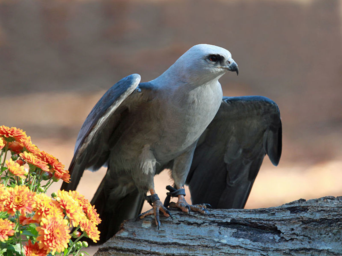This Mississippi Kite lives at the Carolina Raptor Center in Huntersville, North Carolina.