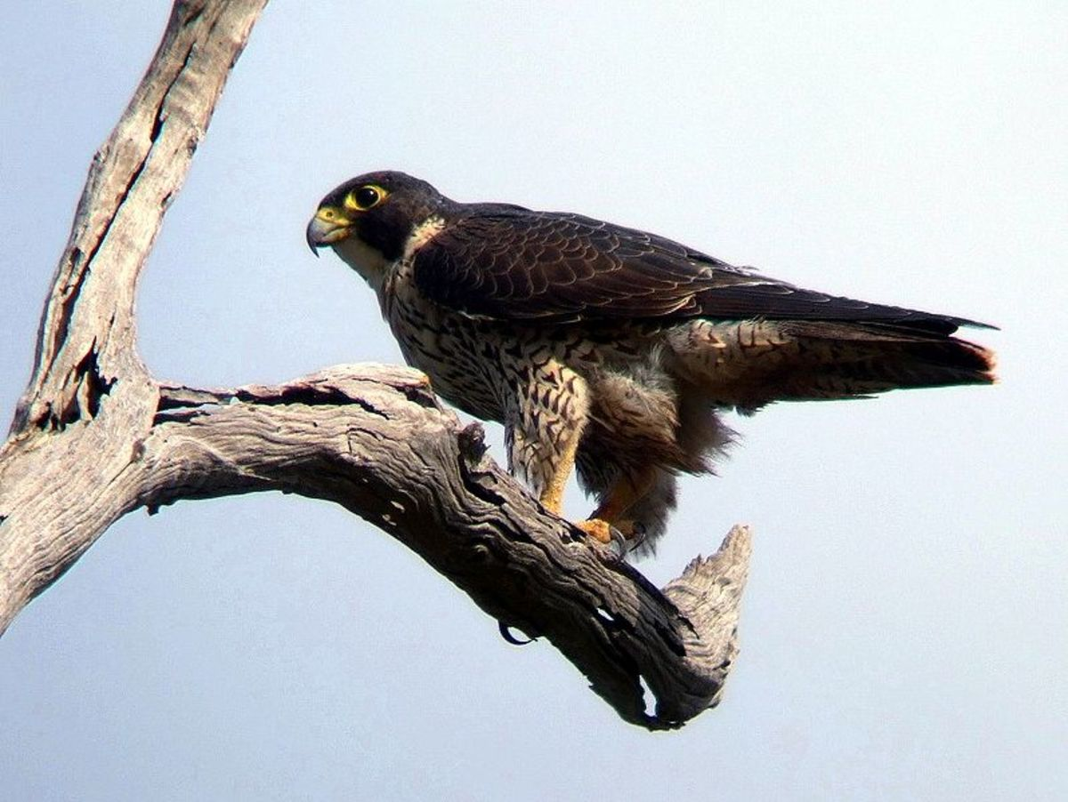 Peregrine falcons can reach over 200 miles an hour as they dive for prey.
