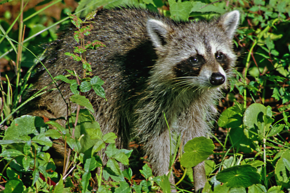 The raccoon - perhaps the largest mammal the casual visitor is likely to see