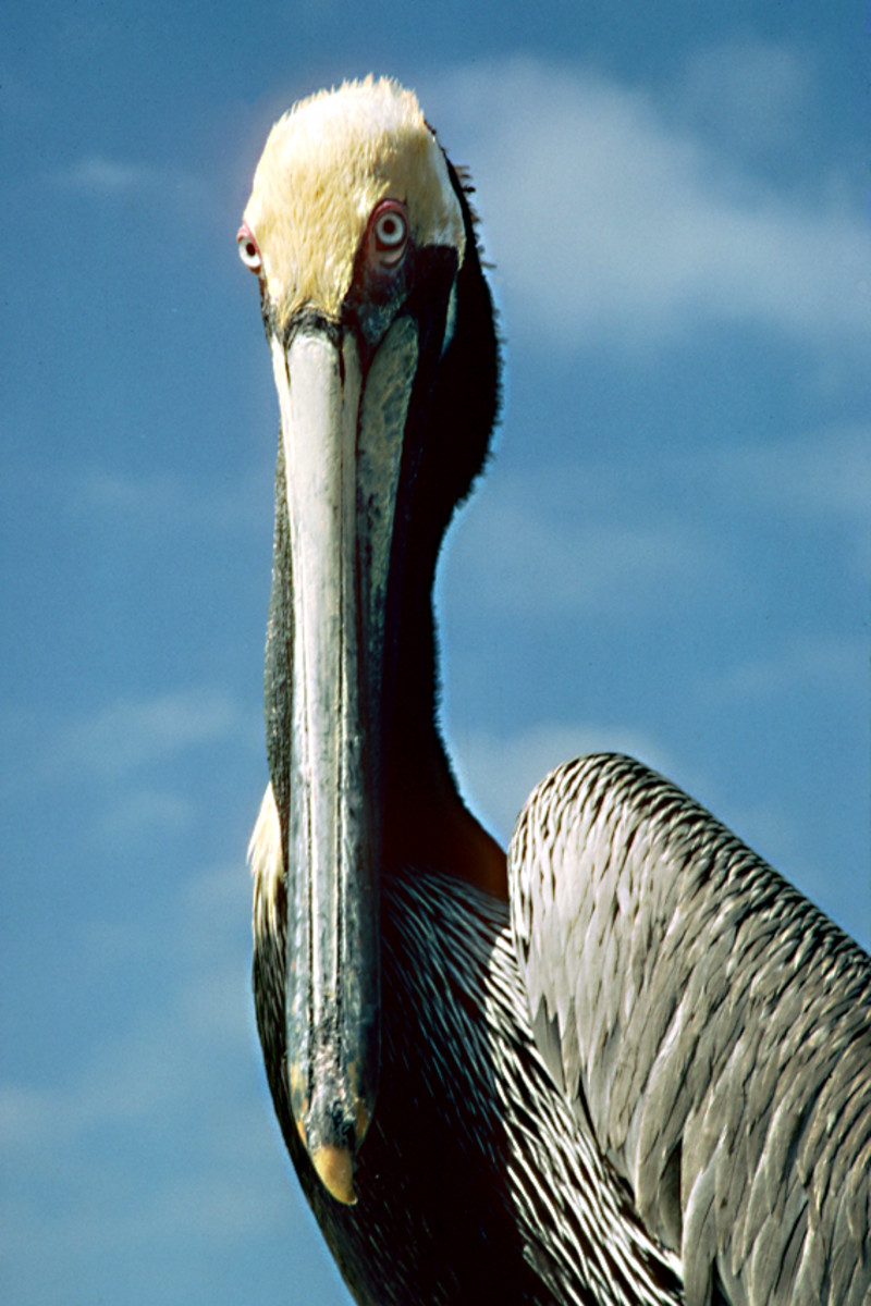 Photographs of Subjects from Around the World. A portrait of a pelican on the Gulf Coast of Florida, USA