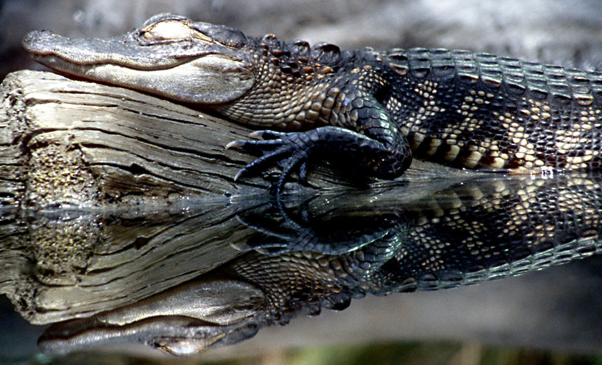 Reflections of Floridian wildlife