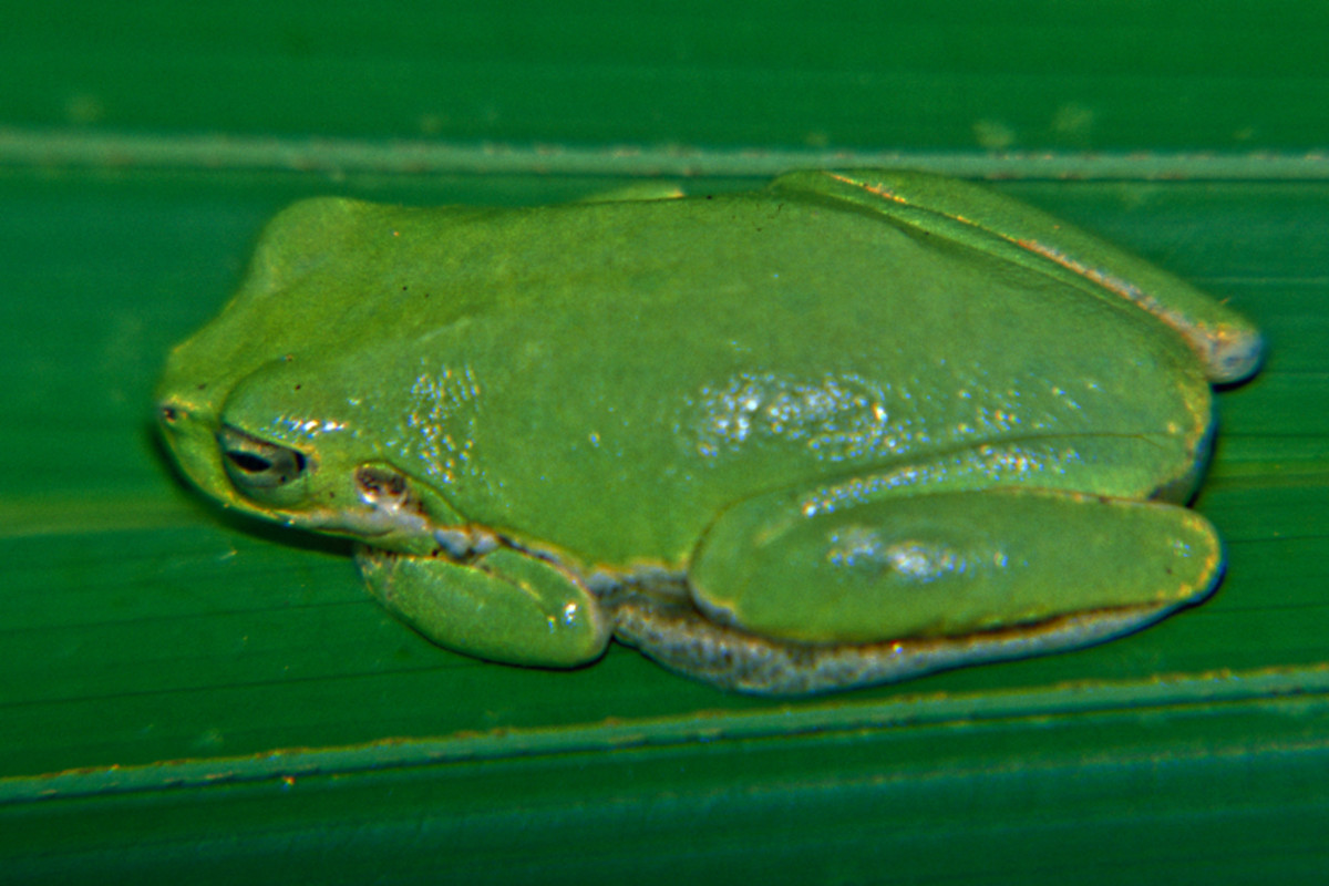 A small tree frog poses for me