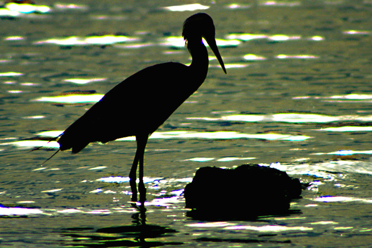 An egret at sunset stands quietly in the water, oblivious to the comings and goings of the tourists. The end of another day for the wildlife of Florida