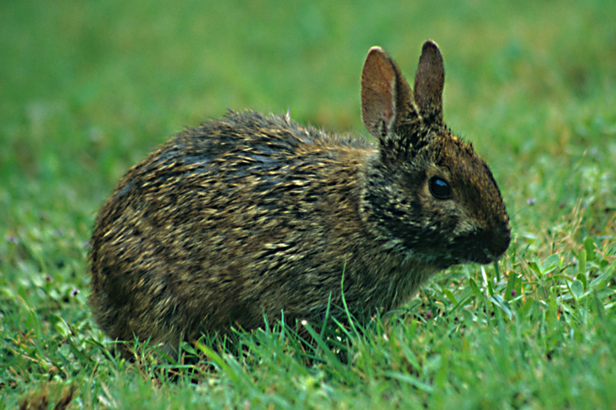 A marsh rabbit feeding on a coastal patch of grass near Port Richey