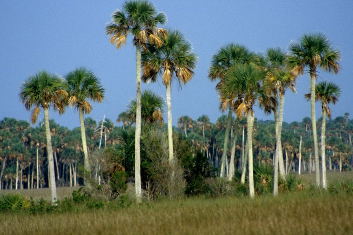 Palm trees form a backdrop to the grasslands near Bayport, Hernando County