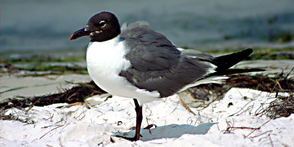 The Laughing Gull in close-up