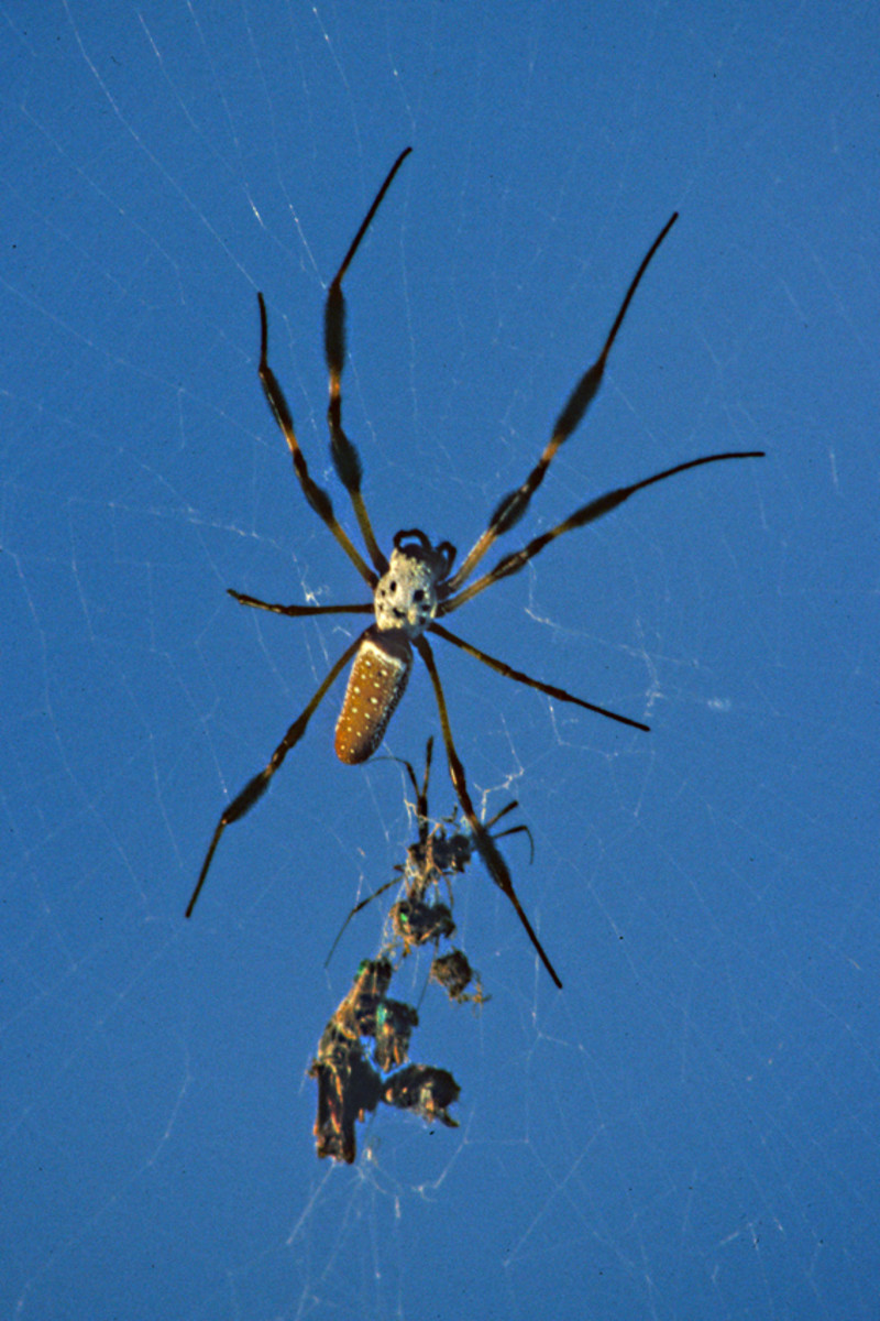 A Golden Silk Orb-Weaver clings to its web with the remains of some of its victims. These large and attractive spiders are among the most prominent of the invertebrates to be found in Florida