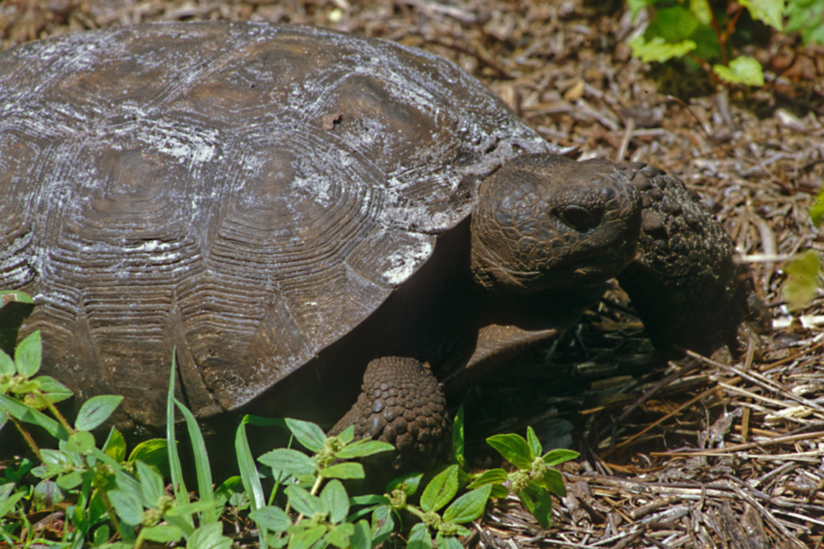 A gopher tortoise, photographed in Boyd Hill Nature Park