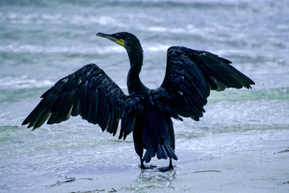 A cormorant spreads its wings and goes for a paddle on the shoreline at Howard Park. These are among the most visible of all the water birds