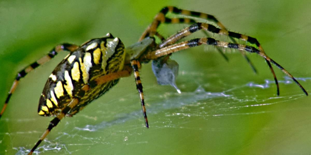 Argiope aurantia - The Black and Yellow Argiope - a beautiful Floridian spider
