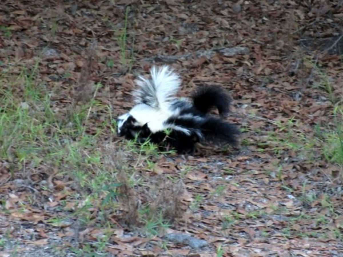 The Baby Skunks