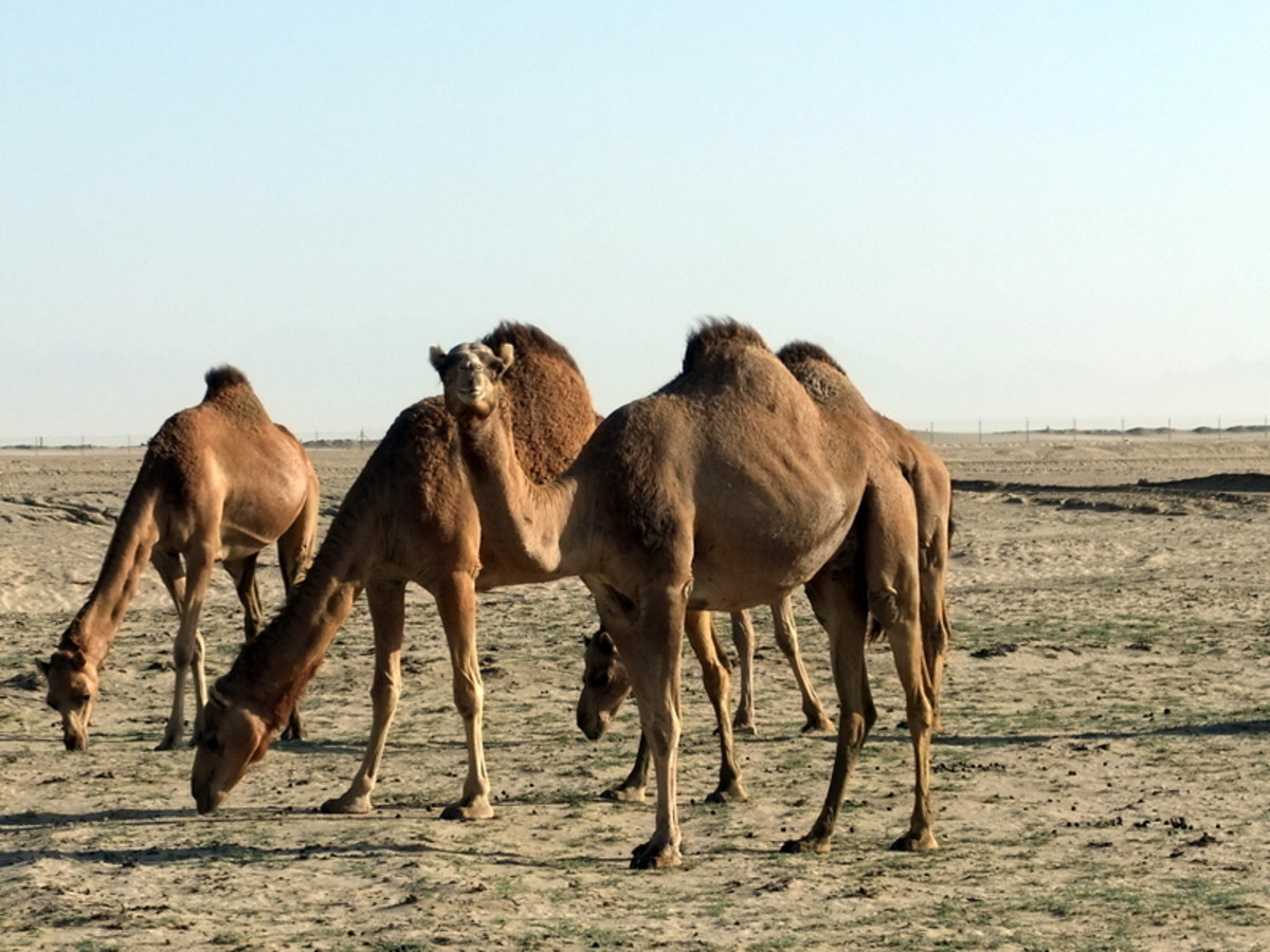 As you drive away from Jeddah city centre you might see camels grazing along the motorway,