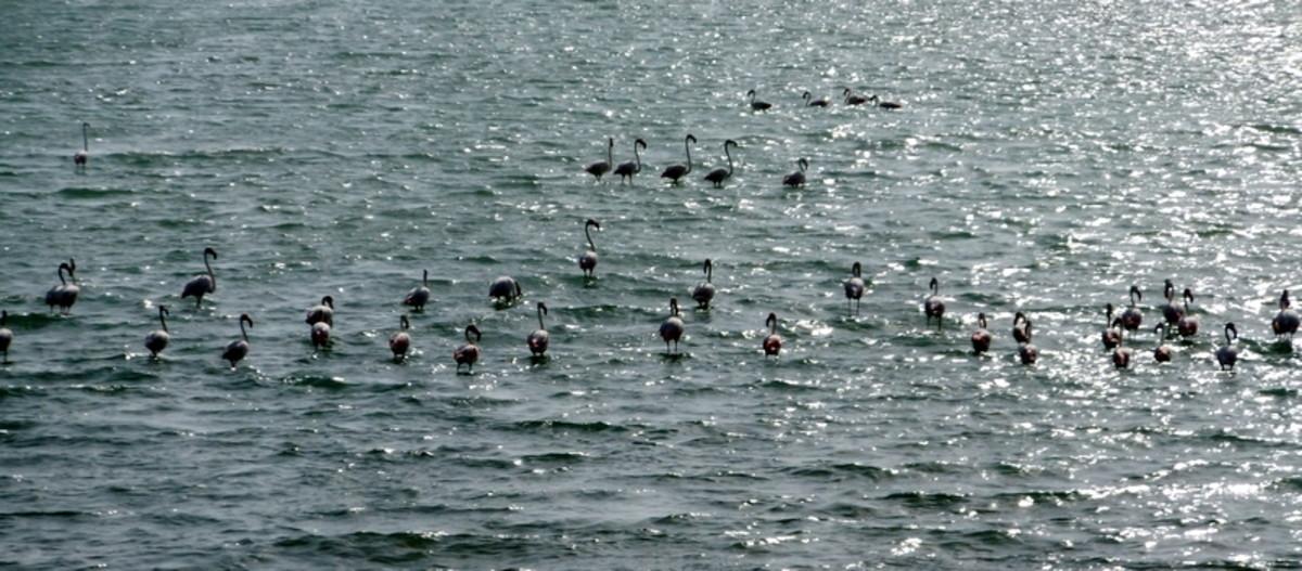 Flamingos at South Corniche Jeddah