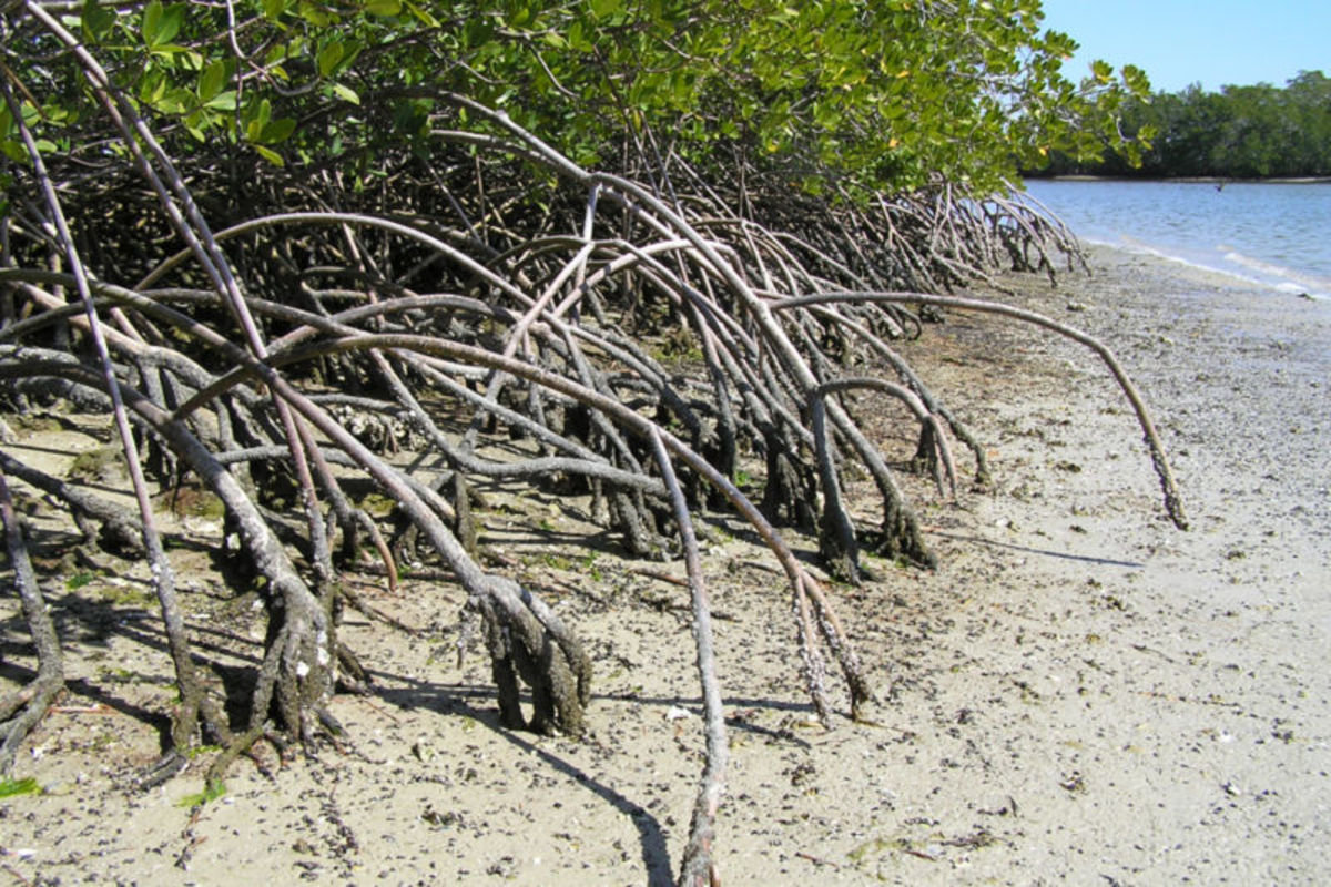 Mangrove trees in the Everglades help prevent the shore from erosion.