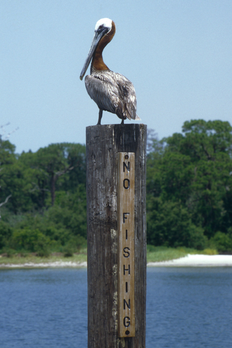 A pelican prepares to disrespect the 'No Fishing' rule on the Gulf Coast