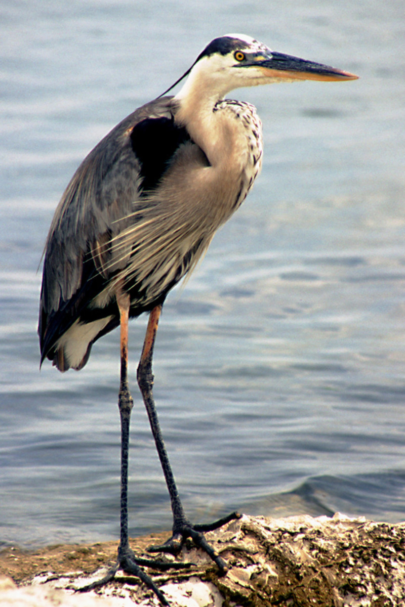 The Great Blue Heron, one of the largest and most spectacular of Florida's birds, and a sight easily seen. Photographed at Fred H Howard Park