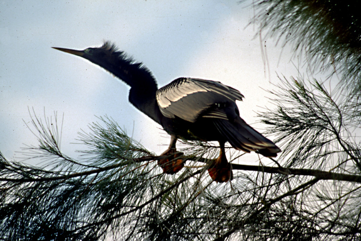 A male Anhinga perches in a tree - a bird with a very distinctive appearance with a glossy black body, head and tail, and large paddle-like webbed feet