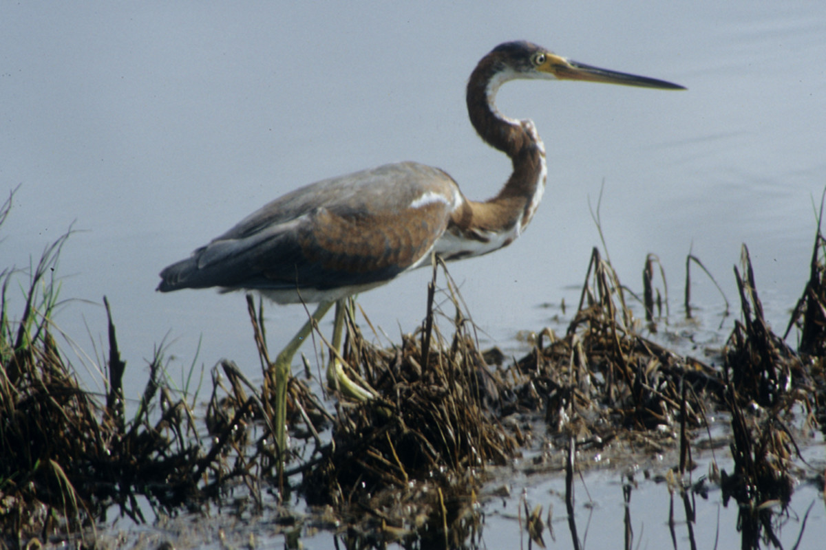 The Tricoloured (Louisiana) Heron, a small to medium sized heron of slender build, common on saltwater shores in Florida. This one was feeding at Merritt Island on the West Coast