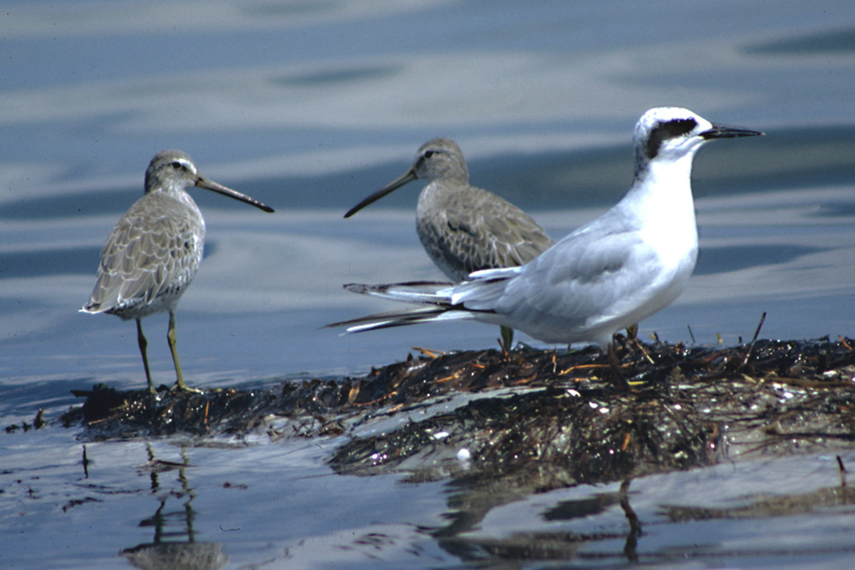 Shorebirds and a tern on the Gulf Coast of Florida. The tern is believed to be a Forster's Tern, though the author of this page is open to correction