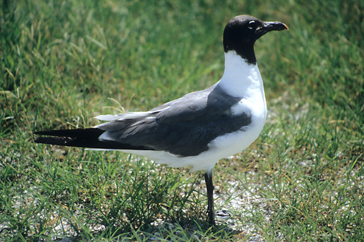 The Laughing Gull is the most ubiquitous of Floridian gulls, seen throughout the year in all kinds of environments, and told from other black headed gulls by its dark legs and in flight by its solid dark wingtips
