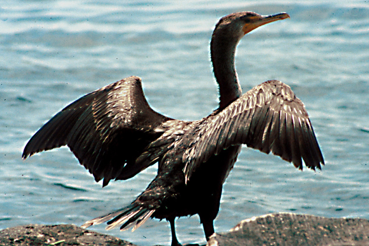 The Double-Crested Cormorant at Fred H Howard Park in Pinellas County