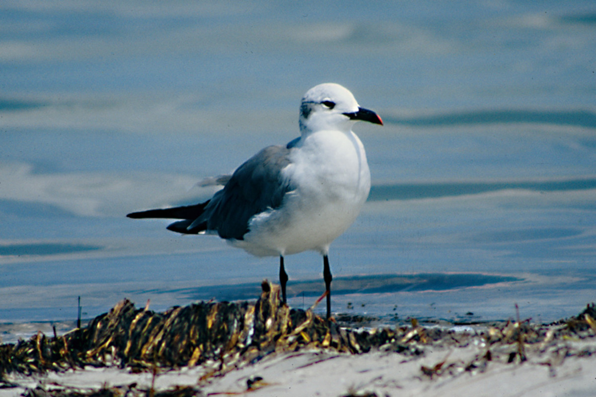 The winter plumage of the Laughing Gull is very different. Like many similarly plumaged gulls, the Laughing Gull loses its black head in winter