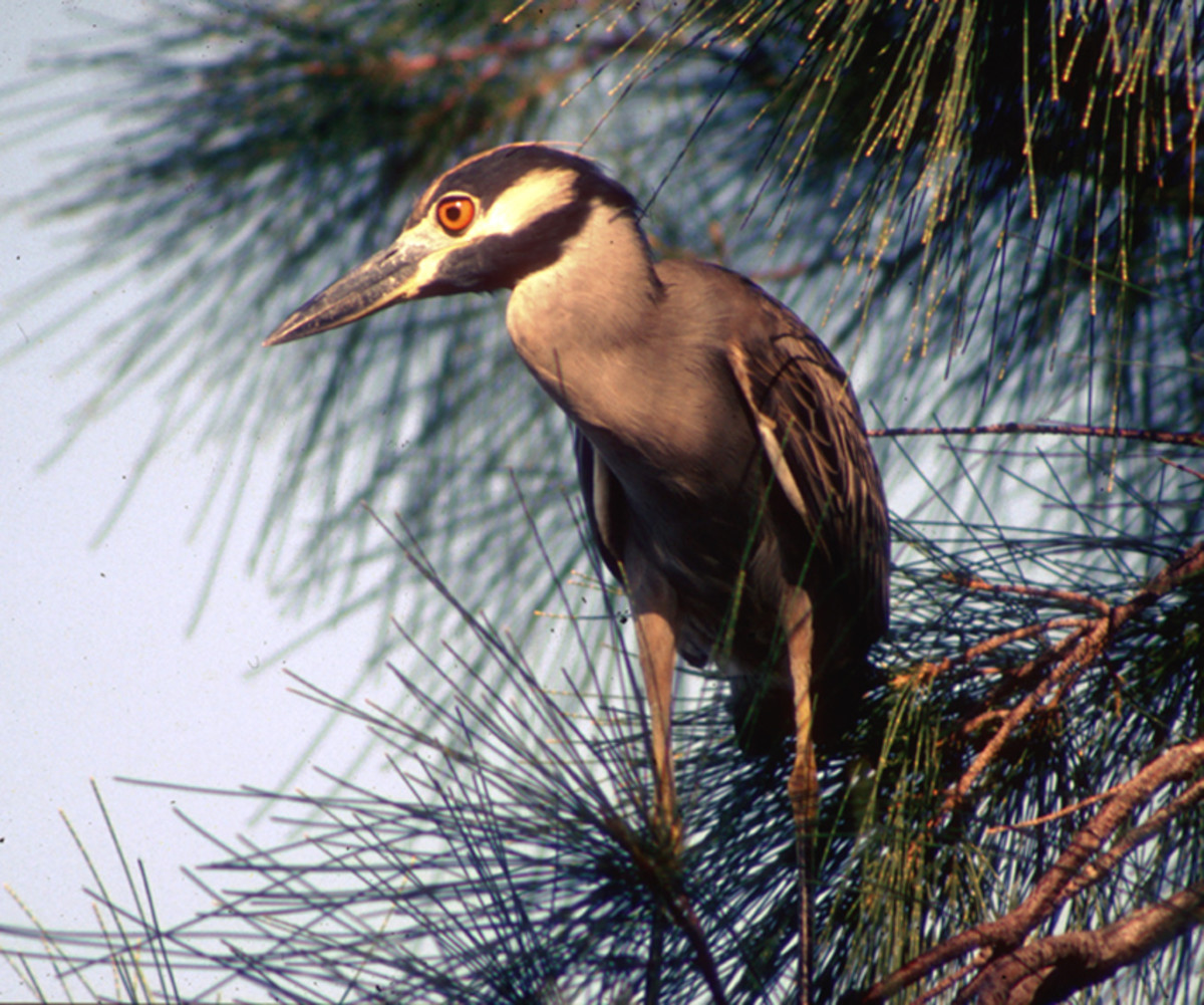 This Yellow-Crowned Night Heron was perched on a branch of a pine tree on the Gulf Coast. Considered by the author to be one of the most attractively proportioned of wading birds, to be able to photograph it was a highlight of time spent in Florida