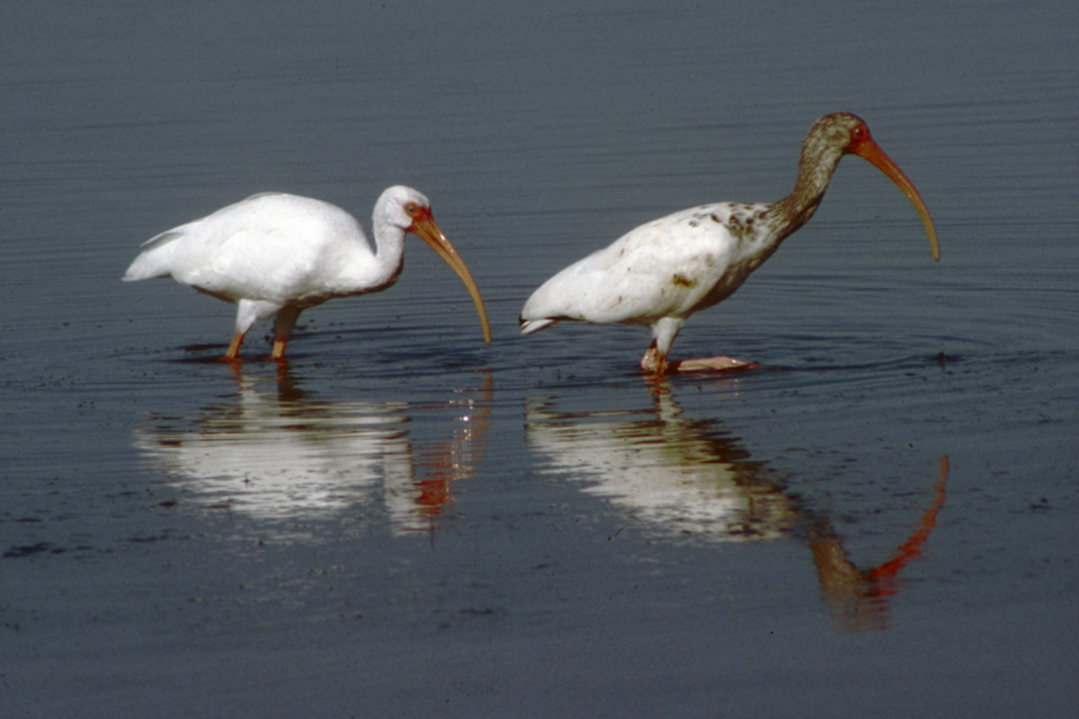 Two wading white ibis - the bird in front is a juvenile