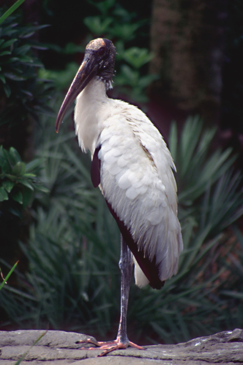The Wood Stork - a powerful bird which grows about 36 inches in height