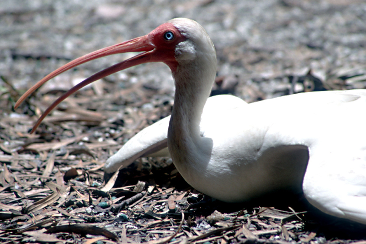 A White Ibis basking in the sun at Homosassa