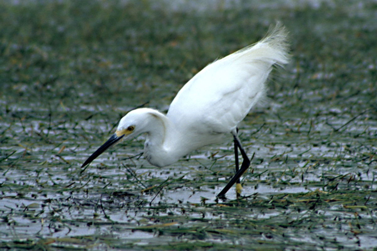 A Snowy Egret searching for food. A very graceful species which was almost hunted to extinction in the 19th century for its long plumes used in the fashion industry