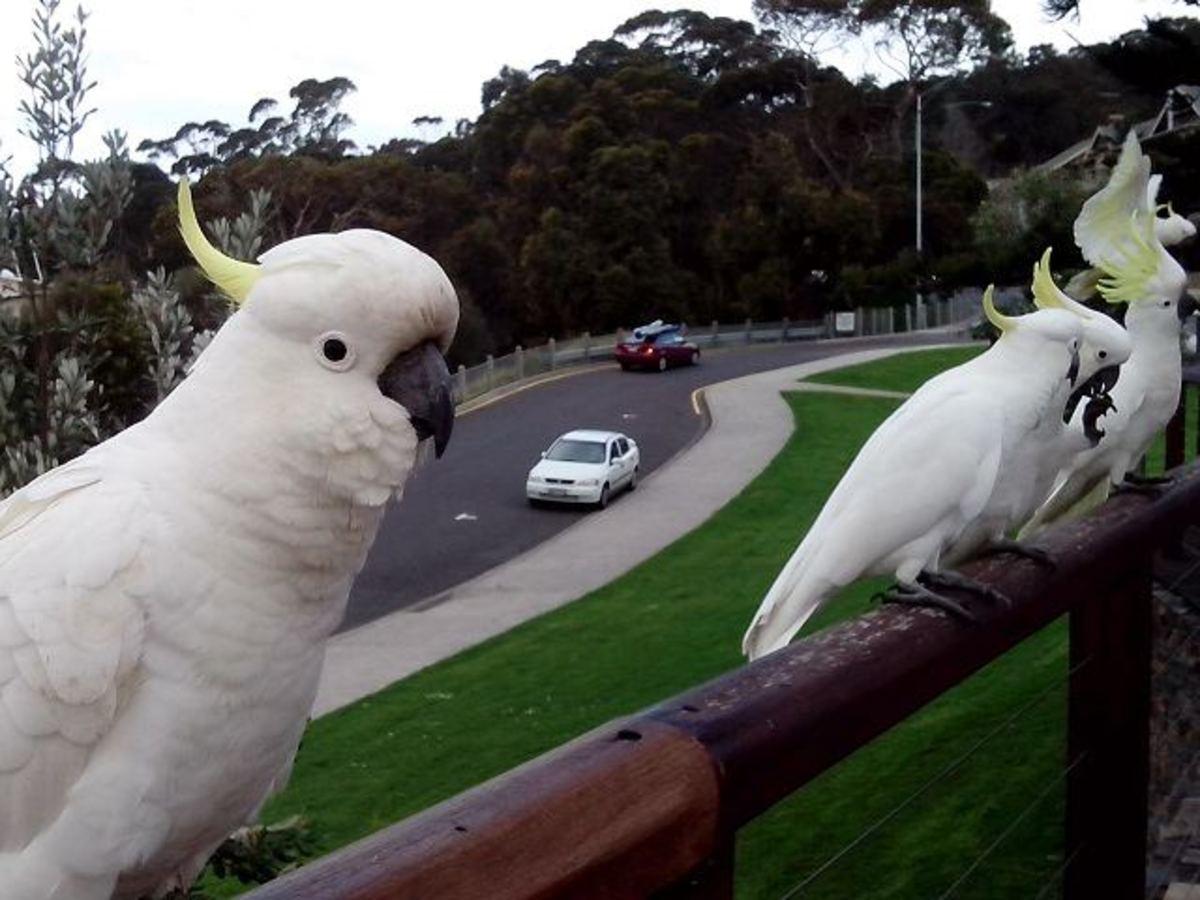 Cockatoos, Lorne