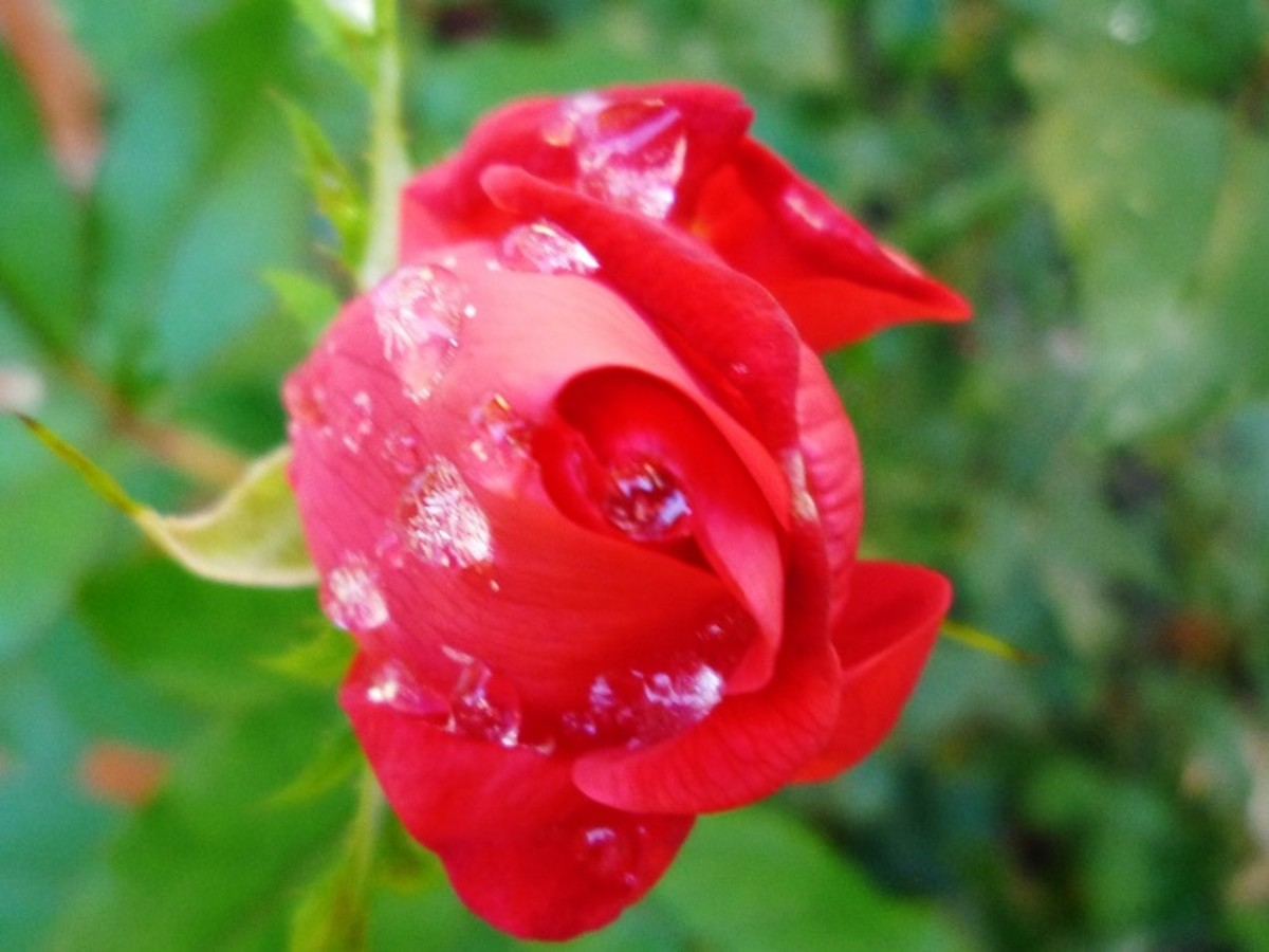 Water Splashed Rosebud
