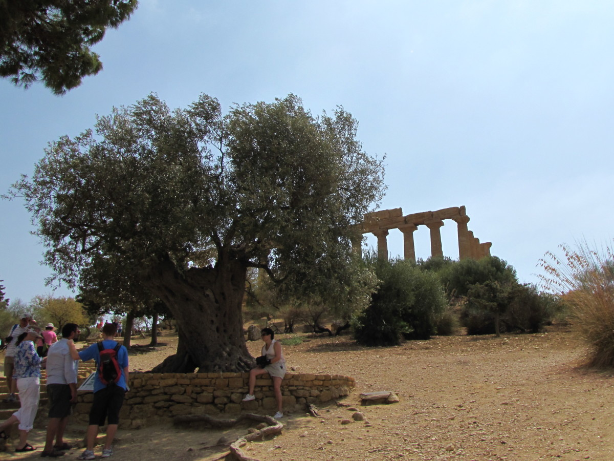 1000 year old Olive Tree